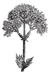 Valerian (Valeriana officinalis) or garden valerian, vintage eng