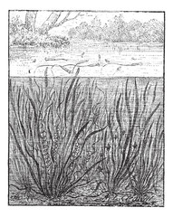 Vallisneria spiralis or Straight Vallisneria, vintage engraving.