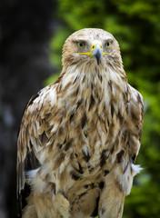Imperial Eagle Aquila Heliaca