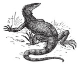 Monitor lizard, vintage engraving.