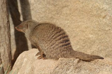 Banded Mongoose - Mungos mungo