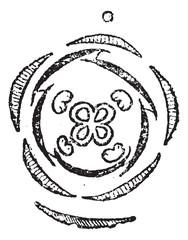 Verbena or Verbenaceae, vintage engraving
