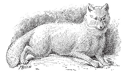 Arctic fox (Vulpes lagopus) or white fox, vintage engraving.