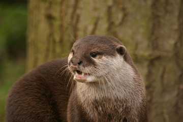 Oriental Small-clawed Otter - Aonyx Cinerea