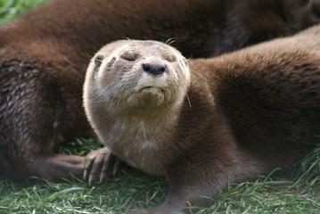 Spot-necked Otter - Hydrictis maculicollis