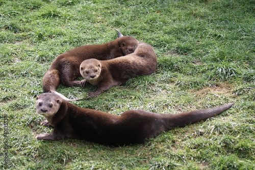 Spot-necked Otter - Hydrictis maculicollis