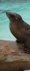 Californian Sea Lion - Zalophus californianus