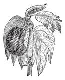 Jackfruit (Artocarpus heterophyllus), vintage engraving.