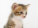 Fototapeta puszysty - wełna - Zwierzę domowe