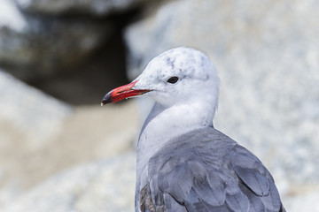 heermann's gull, larus heermanni, california