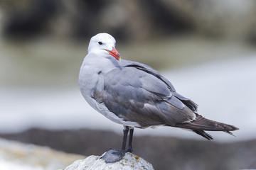 heermann's gull, larus heermanni, california