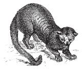 Kinkajou (Potos flavus) or honey bear, vintage engraving. poster