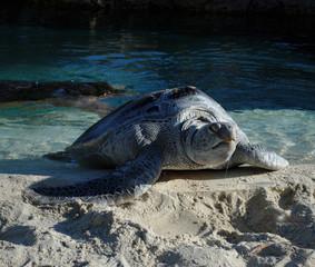 Sea Turtle Sunning