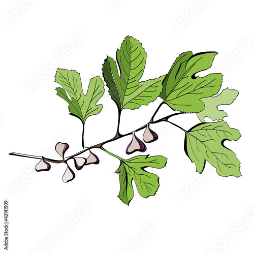 Stylized colored drawing of a branch of fig tree