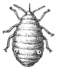 Aphid or plant lice, vintage engraving.