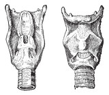 Voice Box or Larynx, vintage engraving poster