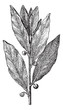 Bay Laurel or Laurus nobilis, vintage engraving