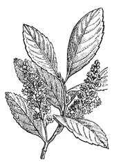 Sour Cherry or Prunus cerasus, vintage engraving
