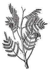 Nere or Parkia biglobosa, vintage engraving