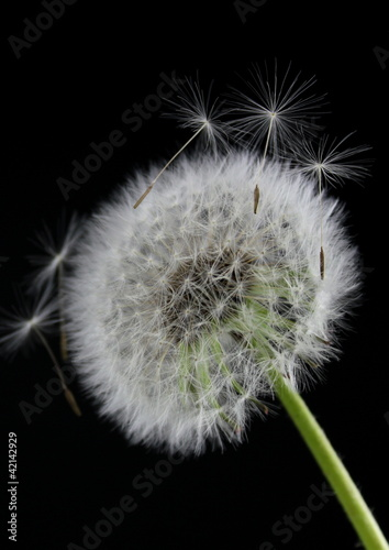Dandelion flower on  black background © Hayati Kayhan