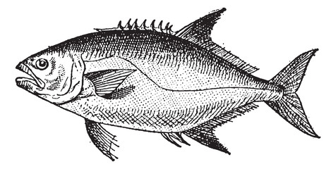 Leerfish or Lichia amia, vintage engraving