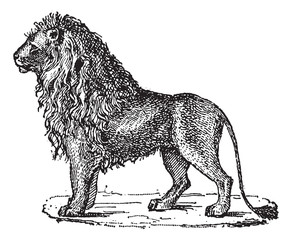 Lion or Panthera leo, vintage engraving