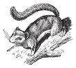 Dormouse or Glis glis, vintage engraving