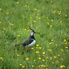 northern lapwing in the field