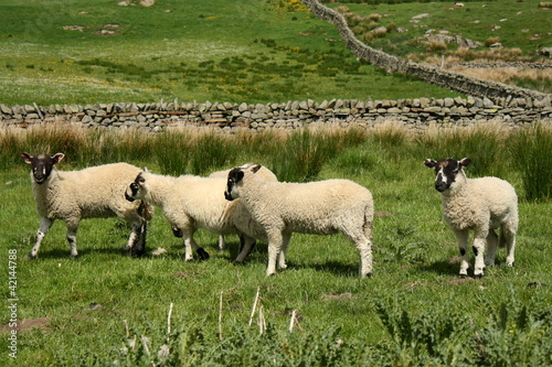 group of little lambs