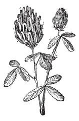 Alfalfa or Lucerne, vintage engraving.