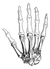Bones of a Human Hand, vintage engraving