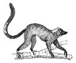 Lemur or Lemur sp., vintage engraving