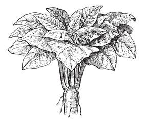 Mandrake or Mandragora sp., vintage engraving