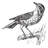 Redwing or Turdus iliacus, vintage engraving poster