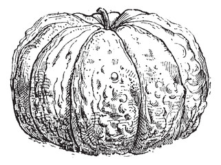 Cantaloupe or Cucumis melo var. cantalupensis, vintage engraving