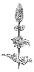 Spearmint or Mentha spicata, vintage engraving