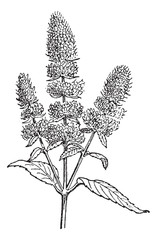 Peppermint or Mentha piperita, vintage engraving