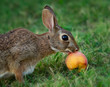 Cottontail Rabbit Eating