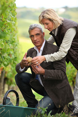 Couple picking grapes together