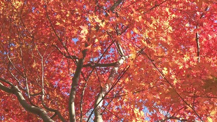 Autumn Leaves in Momiji mountain,Yamanashi,Japan_2