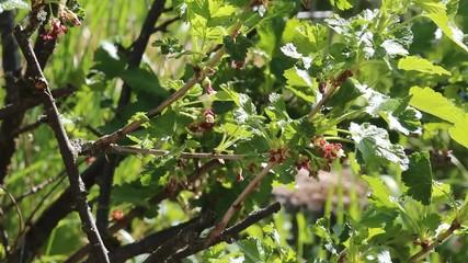 Blühenmder Johannisbeerbusch