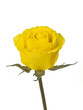 Yellow Rose on White
