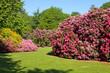 Fototapeten,rhododendron,azalea,busch,blume