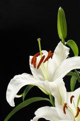 Madonna lily 百合