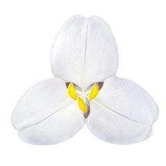 White Trillium Wild Flower Isolated on White