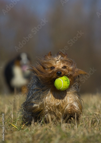 running dog with balloon