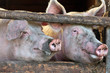 Two large fully grown male pigs in a wooden stable
