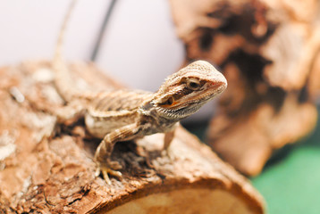 Bearded Dragon Curiously Sitting on Log
