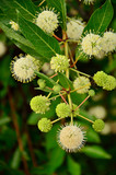 Buttonbush by Jackie DeBusk