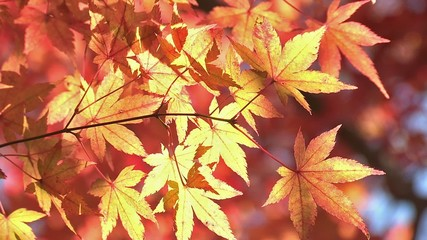 Autumn Leaves in Momiji mountain,Yamanashi,Japan_4